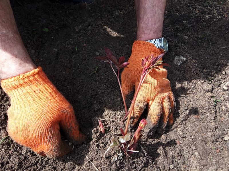 Как я сажаю и размножаю пионы в октябре: мои основные правила ухода за цветами осенью