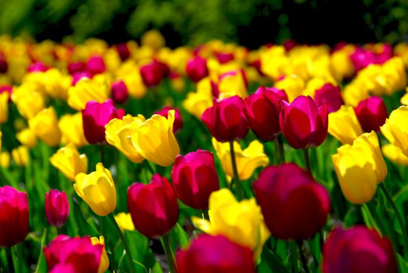 Мои секреты осенней посадки тюльпанов. Немного внимания, и весной будет яркое цветение