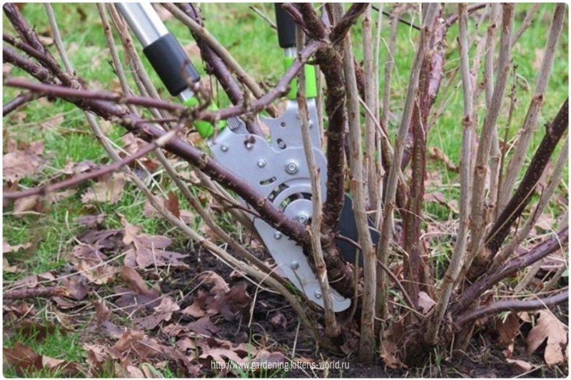 Как я провожу осеннюю обрезку смородины: краткая инструкция для начинающих садоводов