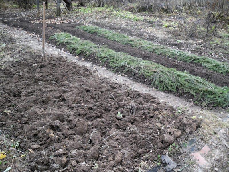 Как я сажаю лук осенью — особенности процесса, про которые нельзя забывать